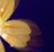 Sapphire Primrose